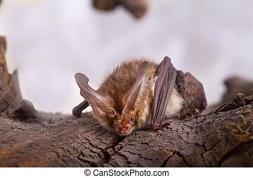 long-eared bat - bat close up on a bark background