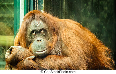 orangutan thinking - orangutan in a glass cage thinking