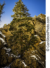 Lone Tree - Lone tree in Hidden Falls canyon. This is in Big...