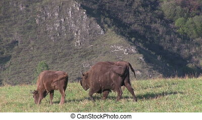 Bisons in the field - Herd of wild european bisons in the...