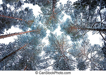 tree canopy in winter - Tree canopy with conifers covered in...