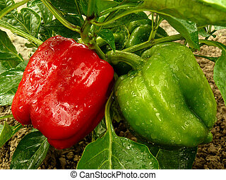 bell pepper plant - red and green bell peppers growing in...
