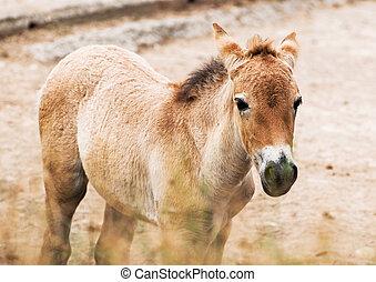 Przewalskis horse foal - Portrait of przewalskis horse foal...