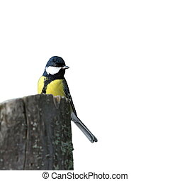 isolated great tit on stump - isolated great tit parus major...