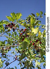 Mulberry on tree and blue sky