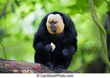 White-faced Saki Monkey sitting in the treetops