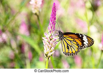 butterfly on flowers - Danaus genutia butterfly on flowers