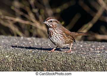 Song Sparrow , shot at vancouver BC Canada