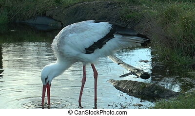 white stork digging in pond for food closeup