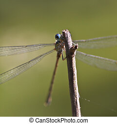 Emerald damselfly peekaboo - Emerald damselfly on a branch...