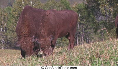 Bisons in the field - Couple wild european bisons in the...