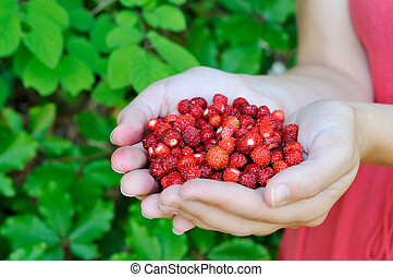 Forest strawberries in the hands - Fresh forest strawberries...