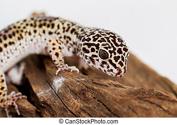 Leopard gecko, in front of white background (Eublepharis...