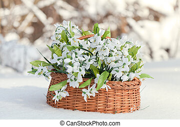 greater basket with snowdrops in a snow