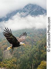Bald Eagle in flight, Austria