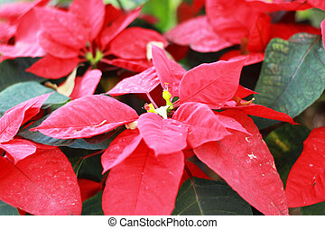 beautiful poinsettia red christmas flower in garden