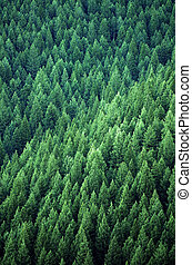 Forest of Pine Trees - Forest of green pine trees on...