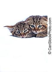 Baby wildcat kittens - two baby wildcat kittens on studio...