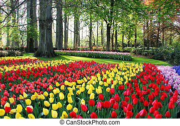 Mix of Holland tulips and hyacinths - Mix of Holland tulips...