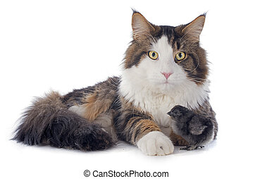 maine coon cat and chick - portrait of a purebred maine coon...