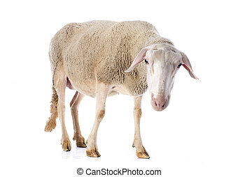 adult ewe in front of white background