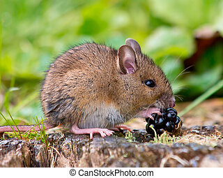 Field mouse with fruit - Wild Wood Mouse Eating Blackberry