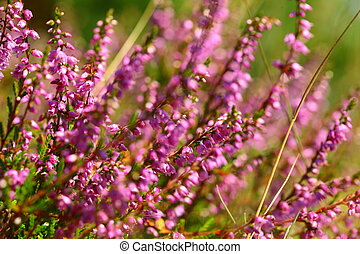 blossoming heather in the summer - branches of a blossoming...