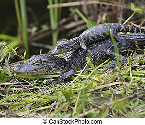 Baby Alligators - Young Alligators Basking In The Sunlight