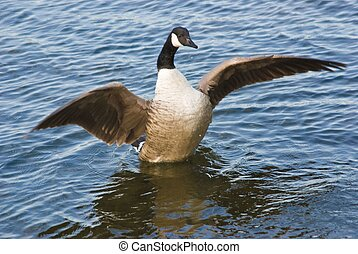 Canada Goose Stretching Wings - Canada goose with...