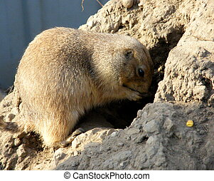 Prairie dog - Hiding food