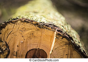 Birch logs isolated