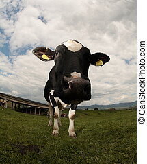 Cow - intentionally distorted by a fisheye lens