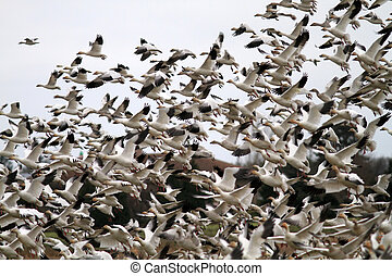 Snow Goose flocks Chen caerulescens in Vancouver,Canada