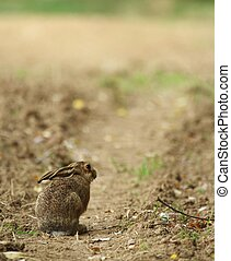 Cute little young hare sitting on a path