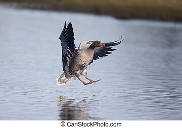 Greylag goose, Anser anser, single bird in flight,...