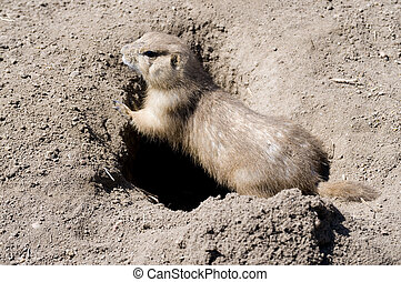 prarie dog at the entrance to his den