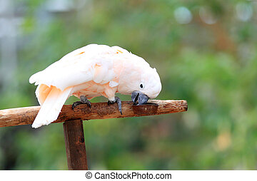 Salmon-crested cockatoo - Moluccan cockatoo or...