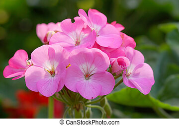 Geranium flowers in the garden