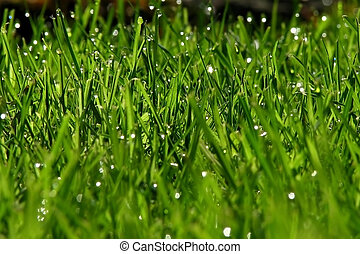 Fresh grass after the rain