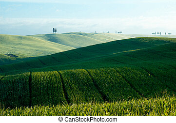 Green fields of wheat - Green luxuriant sloping fields of...