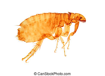 cat flea - photomicrograph 20 x, cat or dog flea isolated on...