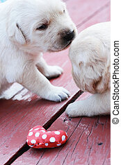 playing labrador puppies on green grass - three weeks old