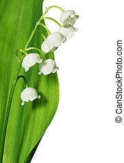 Spring flowers: lily-of-the-valley isolated on white...