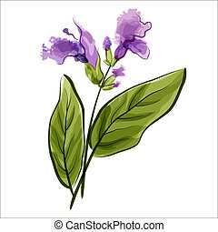 Salvia. Sage. Vector illustration. Meadow flower