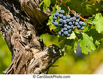 Cabernet Sauvignon Red Wine Grapes