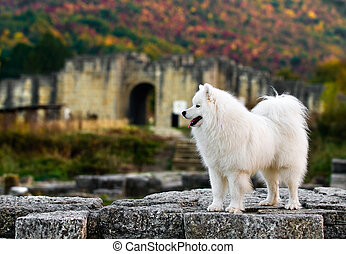Samoyed in the  old town