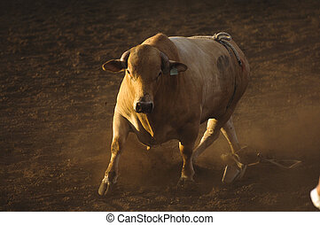 Rodeo bull - Bull in a rodeo, in late afternoon light.