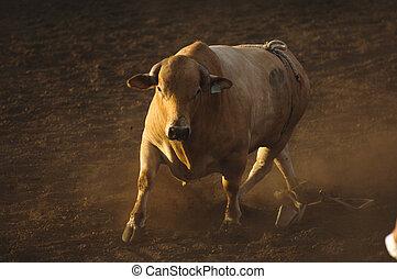 rodeo, toro