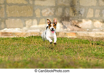 Jack Russell Terrier running on green grass
