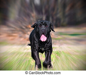 Neapolitan Mastiff - beautiful Neapolitan Mastiff running on...
